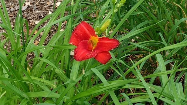 Hudson red lilly 2017